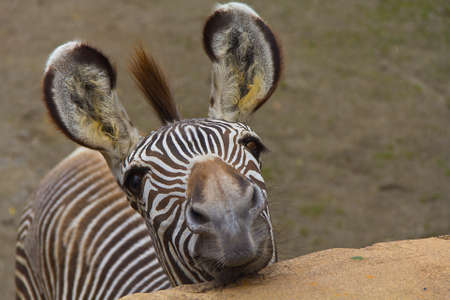 Funny zebra portrait closeup photo