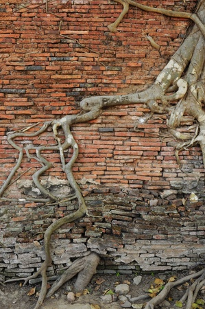 orange brick wall with ancient root tree  photo