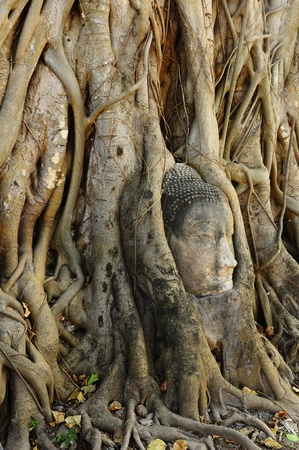 Buddha face in root at Wat Mahathat,Ayutthaya,Thailand  photo