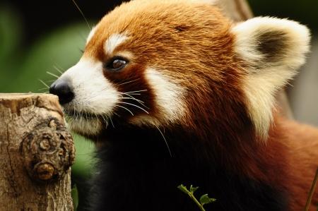 catlike: red panda look Stock Photo