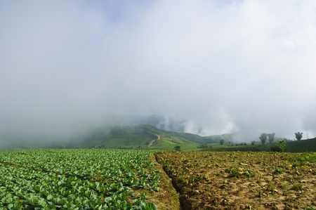 cabbage field to the mountain photo