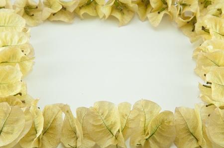 white bougainvillea frame photo