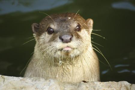 otter: closeup of otter