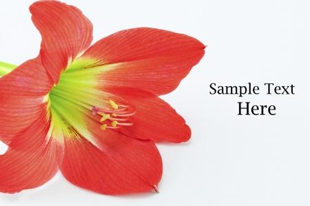 Amaryllis Hippeastrum Isolated on white background, Star Lily photo