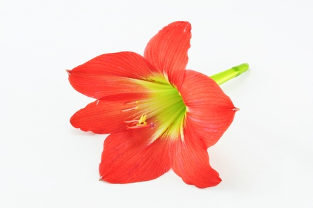 bulbous: Amaryllis Hippeastrum Isolated on white background, Star Lily