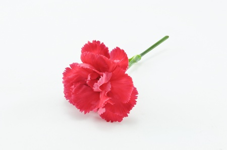 Red Carnation Isolated on white background photo