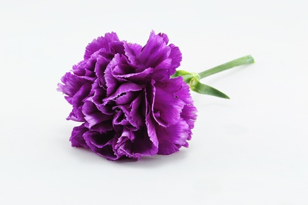 carnations: Purple Carnation Isolated on white background Stock Photo