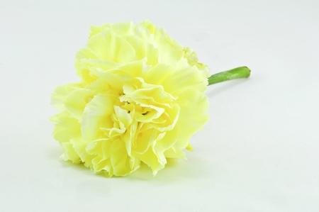 Yellow Carnation Isolated on white background photo