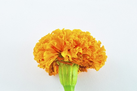 tagetes: Orange Marigold (Tagetes) Flower isolated Stock Photo
