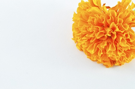 tagetes: Orange Marigold (Tagetes) Flower Stock Photo