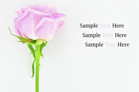 Pink rose Isolated on white background Stock Photo - 9348648