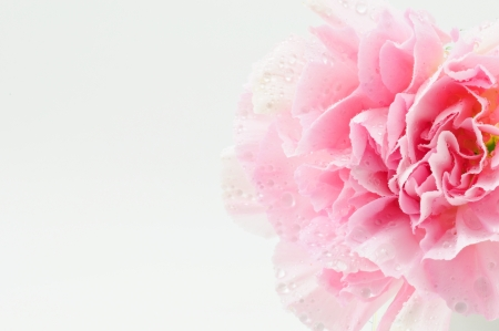 Pink Carnation Isolated on white background photo