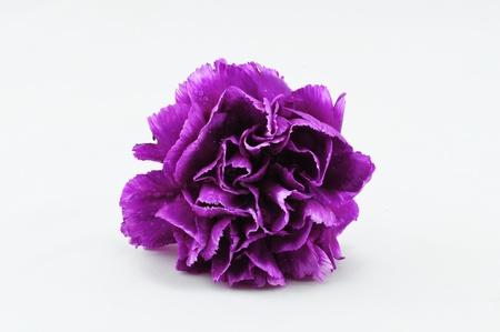 Purple Carnation Isolated on white background Stock Photo