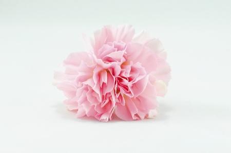 Pink Carnation Isolated on white background Stock Photo