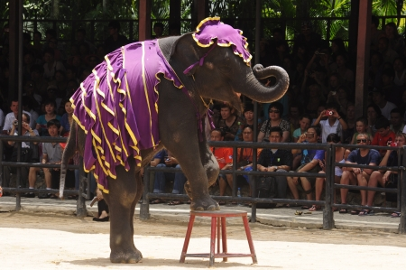 Nong Nooch Garden,  Thailand - May 5,2011 -  Elephant show, an elephant stands on a chair Editorial