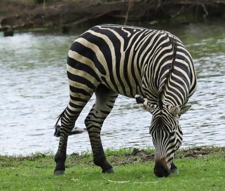 Zebra on the green field photo