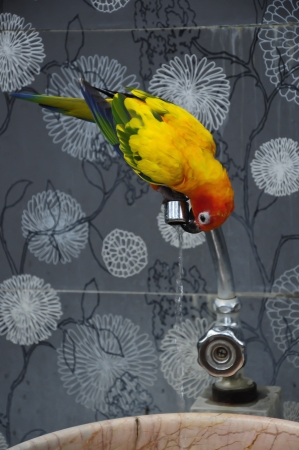 Colorful Parrot drink water photo