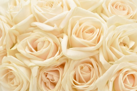 Beautiful white rose background photo