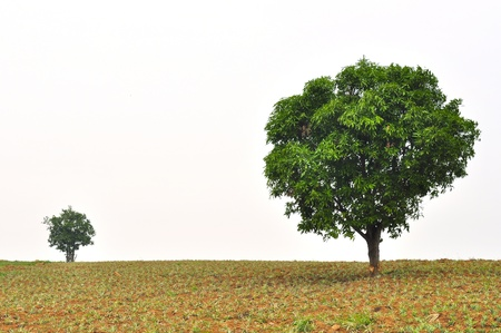 big leafs: A small and big tree with new leaf growth standing in a pineapple field