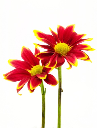 Red chrysanthemum flowers isolated on white background