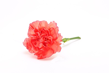 Pink Carnation Isolated on white background Standard-Bild