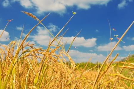 rice crop: Rice field in blue sky