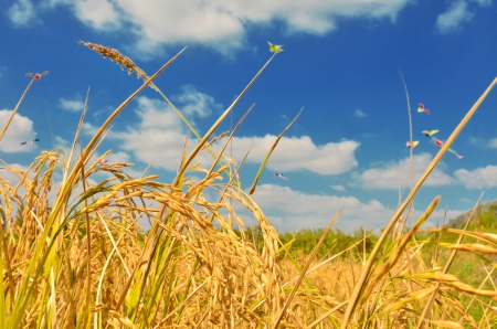aratás: Rizs mező, kék ég