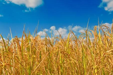 Golden rice field in blue sky photo