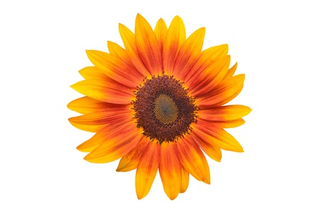 beautiful yellow Sunflower Stock Photo - 11862763