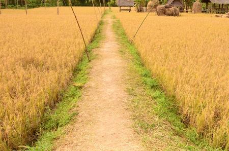 Pathway between golden rice field photo