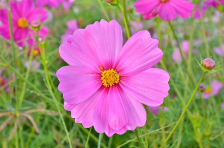 Beautiful Cosmos flower photo