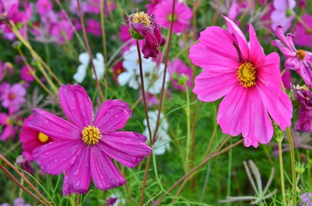 Beautiful Cosmos flowers in the field photo
