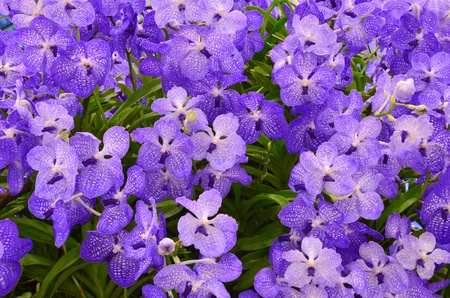 Violet orchid background photo