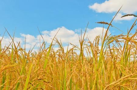 arroz chino: Campo de arroz de oro en el cielo azul