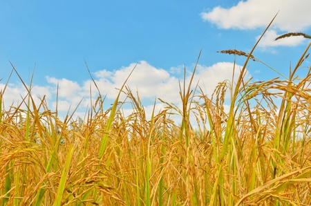 Golden rice field in blue sky photo