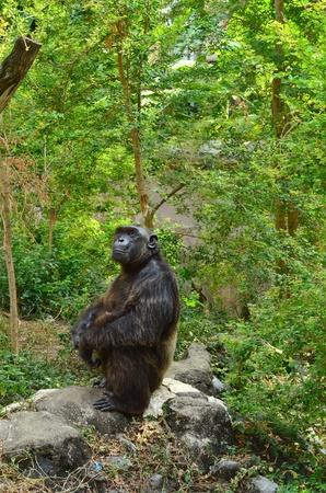 Gorilla looking photo
