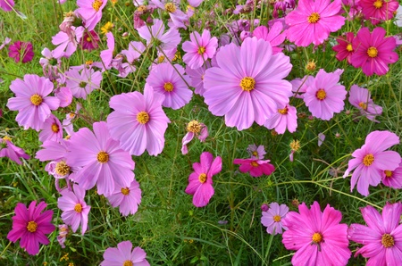 Beautiful Cosmos flower field photo