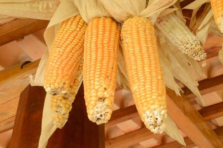 Toast sweet corn with the husks still on Stock Photo - 13235060