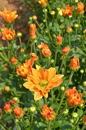 Orange Chrysanthemum flowers photo