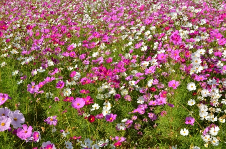 Beautiful Cosmos flowers field Stock Photo