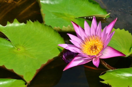 pink lotus in the pool photo
