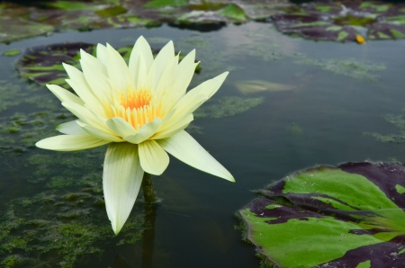 White lotus in the pool Stock Photo - 14160958