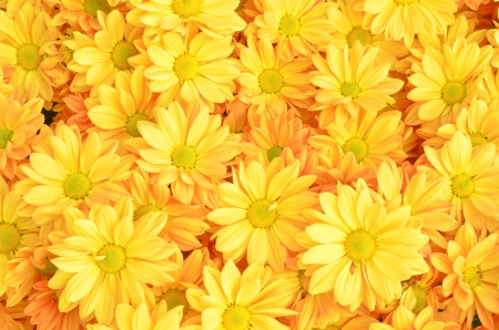 chrysanthemum: Yellow Chrysanthemum flowers background