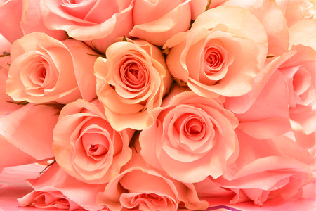 rose flower: Beautiful pink rose background