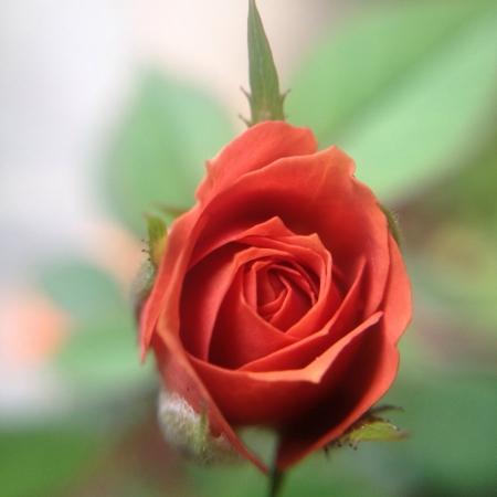 rose bud: Fioritura bocciolo di rosa