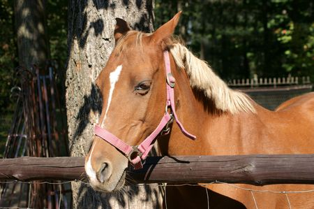 foretop: Young horse Stock Photo