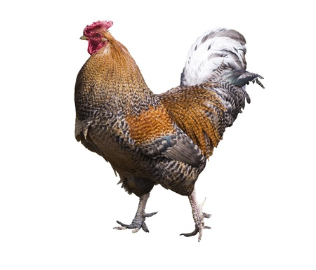 cockerel: Gallo orgoglioso isolata on white