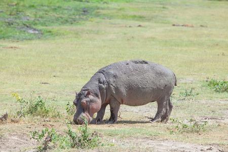 Young hippo eating grass in Amboseli, Kenya