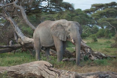 Big African Elephant in Amboseli, Kenya