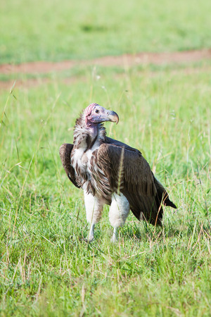 An adult Lappet-faced Vulture Torgos tracheliotus, the largest and strongest of the Old World Vultures 免版税图像